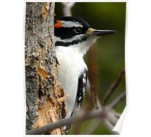 Hairy Woodpecker. Male Poster