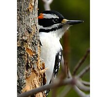 Hairy Woodpecker. Male Photographic Print