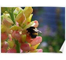 Bumblebee on a Yellow Lupine Poster