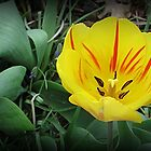 First Tulip by Monnie Ryan