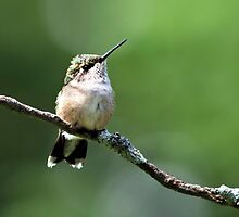 Hummingbird Perch by Christina Rollo