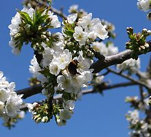 Humble Bumble and Cherry Blossom by Geraldine Miller