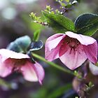 The hellebore by SylviaCook