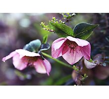 The hellebore Photographic Print