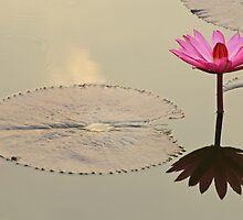 Water Lily Sukhothai,Thailand by Robert George