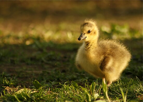 GOLDEN FLUFF BALL by Lori Deiter