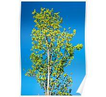 Silver Birch in Spring Poster