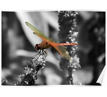 Scarlet Dragonfly Poster