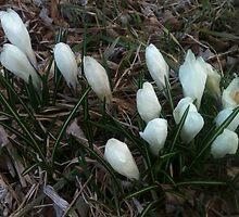 White Spring Crocus Flowers by silverdragon