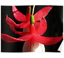 Fuchsia curves Poster