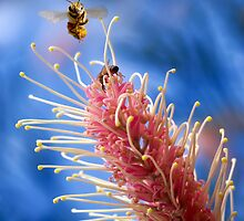 Bee in Flight by Walter Colaiaco