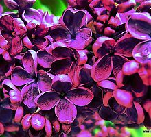 Syringa vulgaris by alaskaman53