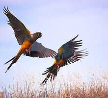 Burrowing Parrots take off by David Towey