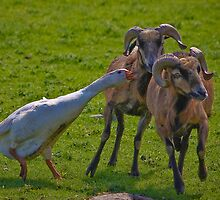 Geese v Rams by jdmphotography
