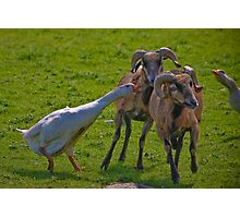 Geese v Rams Photographic Print