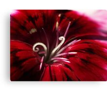 Dianthus Curls - relative of the Carnation Canvas Print