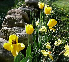Tulips, Daffodils, and Stones, Front Yard in April Series 2009 by Jack McCabe