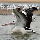 Pelican wing span by MickDee