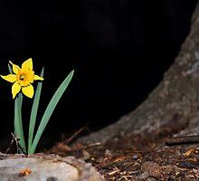 daffodil by photosilike