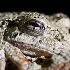 Cope's or Common Gray Treefrog by Otto Danby II