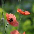 Poppies by Lucy Hollis