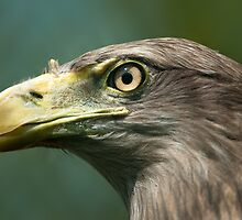 White-tailed Eagle (lat. Haliaeetus albicilla) by peterwey