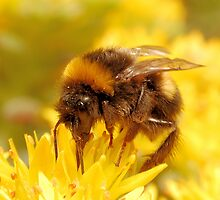 Bumble Bee by ChrisHarvey67