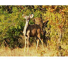 Surprised Kudu bull Photographic Print