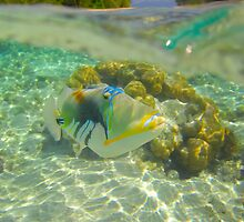 Trigger Fish by Thomas Peter