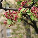 Crabapple buds  by Jeff Stroud