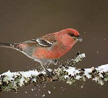 Pine Grosbeak in snow by wildlifephoto