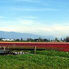 Tulip Festival Fields of Glory by Rick Lawler
