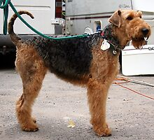 Funky Airedale Terrier by welovethedogs