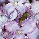 Lilac after a Spring Rain by Michele Markley