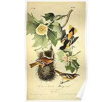 James Audubon Vector Rebuild - The Birds of America - From Drawings Made in the United States and Their Territories V 1-7 1840 - Baltimore Oriole or Hang Nest Poster