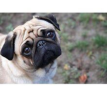 Super Pugs Photographic Print