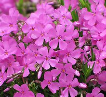 Pretty Pink Phlox by lorilee