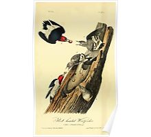 James Audubon Vector Rebuild - The Birds of America - From Drawings Made in the United States and Their Territories V 1-7 1840 - Red Headed Woodpecker Poster