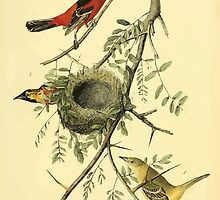 James Audubon Vector Rebuild - The Birds of America - From Drawings Made in the United States and Their Territories V 1-7 1840 - Orchard Oriole or Hang Nest by wetdryvac