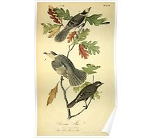 James Audubon Vector Rebuild - The Birds of America - From Drawings Made in the United States and Their Territories V 1-7 1840 - Canada Jay Poster