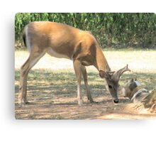 The Curious Buck and Powder Canvas Print