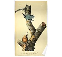 James Audubon Vector Rebuild - The Birds of America - From Drawings Made in the United States and Their Territories V 1-7 1840 - Red Bellied Nuthatch Poster