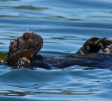 Nature Photo of Relaxed Sea Otter Sticker