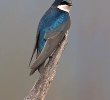 Tree Swallow by David Friederich