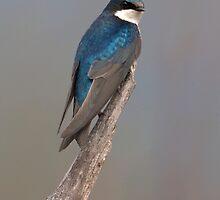 Tree Swallow by David Friederich