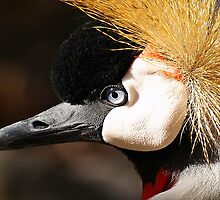 East African Crowned Crane close up profile by kellimays