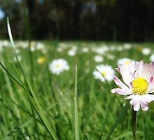In a Field of Daisies by RobertCharles