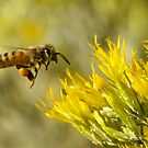 Buzzing towards a big yellow feast by kellimays