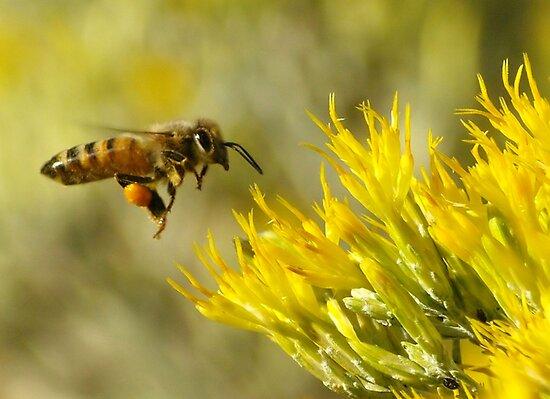 Buzzing towards a big yellow feast by kellimays