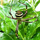 St Andrews Cross spider by Alex Howen